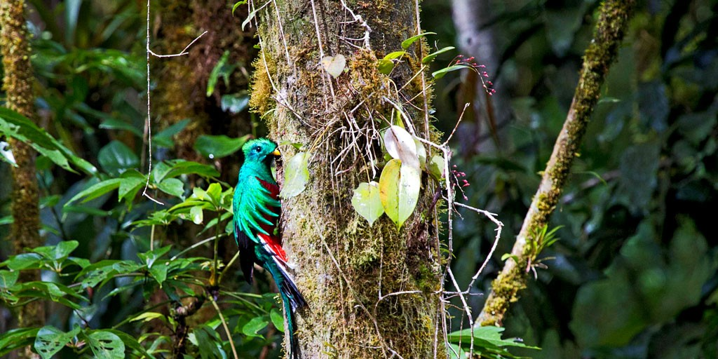 Quetzal with many Birds in Chiriqui Panama